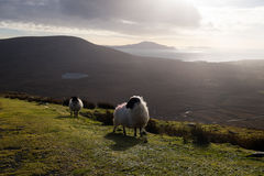 Mountain view with sheep. Royalty Free Stock Image