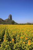 Mountain View and Yellow field of sunflowers and bright blue sky Royalty Free Stock Image