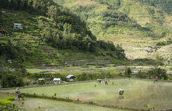 Mountain village people banaue luzon philippines. People planting rice in the terraced rice paddies of banaue province in northern luzon in the philippines Royalty Free Stock Photography