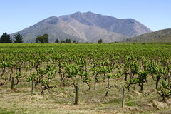 Mountain vineyard Royalty Free Stock Image