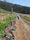Mountain Vineyard Stock Photography