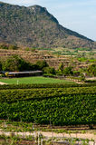 Mountain vineyard in Thailand. View of a vineyard in Thailand royalty free stock photography
