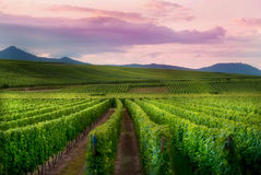 Mountain Vineyards Landscape view Stock Image