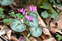 Mountain violet Royalty Free Stock Images