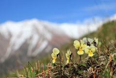 Mountain violets Stock Photography