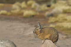 Mountain Viscacha on the  Altiplano of Northern Chile. Mountain Viscacha (Lagidium viscasia) resting on a rock in Lauca National Park, northern Chile Stock Photos