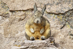 Mountain Viscacha (Lagidium viscacia) Royalty Free Stock Images
