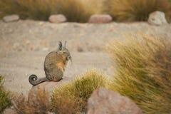 Mountain Viscacha Stock Image