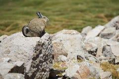Mountain Viscacha Royalty Free Stock Photos