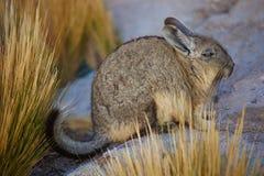 Mountain Viscacha Royalty Free Stock Image