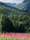 Mountain vista with pink fireweed in Norway royalty free stock photo