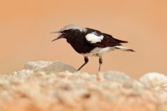 Mountain Wheatear, Myrmecocichla monticola, black and white bird in sand desert in Namibia, dark form bird. Animal behaviour in. Africa. Wind in the bird royalty free stock photo