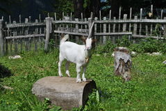 Mountain white horned goat Royalty Free Stock Photography