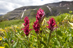 Mountain Wild Flowers Stock Photography