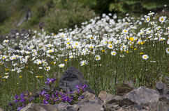 Mountain wild flowers Royalty Free Stock Photos