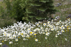Mountain wild flowers Royalty Free Stock Image