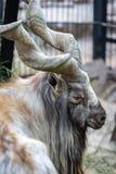 Mountain wild goat stock images