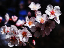 The mountain wild peach blossom Stock Photos
