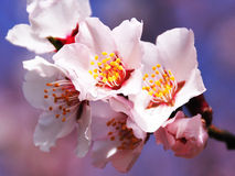 The mountain wild peach blossom Royalty Free Stock Photography