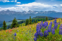 Mountain Wildflowers. Colorful mountain wildflowers in Colorado stock photo