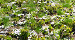 Mountain wildflowers and grasses on rocky hillside Royalty Free Stock Photography