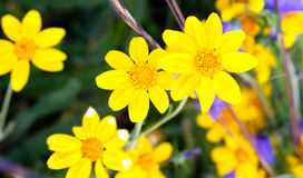 Mountain Wildflowers Ground Cover Flora Summertime Hurrican Ridg Stock Images