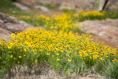 Mountain Wildflowers. Wildflowers growing in the sunlight among the rocks Stock Images