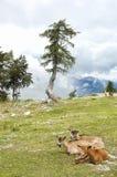 Mountain wildlife Royalty Free Stock Photography