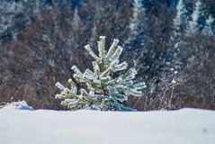 Mountain winter pyezhzh. A small snow-covered Christmas tree on the main plan and a forest in the background. In the foreground cl royalty free stock images