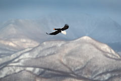 Mountain winter scenery with bird. Steller`s sea eagle, flying bird of prey, with blue sky in background, Hokkaido, Japan. Eagle w Royalty Free Stock Photos
