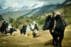 Mountain yaks. Of the himalayas royalty free stock image
