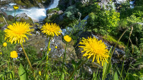 Mountain  yellow dandelions flowers Royalty Free Stock Photos