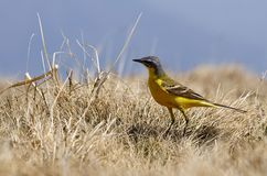 Mountain yellow sparrow Royalty Free Stock Images