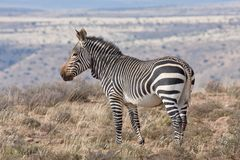 Mountain Zebra. High in the mountains Royalty Free Stock Images