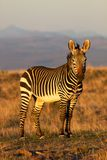 Mountain Zebra Stock Photography