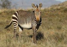 Mountain zebra Royalty Free Stock Images