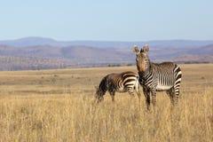 Free Mountain Zebra Royalty Free Stock Photos - 29806708