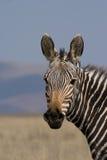 Mountain Zebra Stock Photo