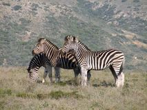 Mountain Zebra. The background mountain along with the pose of the zebras makes for a great photo Stock Images