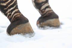 Mountain zebra detail Royalty Free Stock Photography