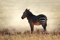 Mountain Zebra in dust Royalty Free Stock Photography