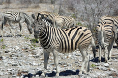Mountain Zebra Stock Image