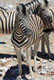 Mountain Zebra Royalty Free Stock Photography