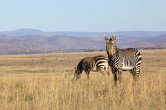 Mountain Zebra Royalty Free Stock Photos