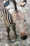 Mountain zebra (Equus zebra hartmannae) Royalty Free Stock Images