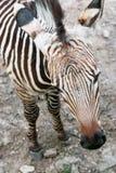 Mountain zebra (Equus zebra hartmannae). Close up of Mountain zebra (Equus zebra hartmannae Royalty Free Stock Images