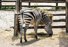 Mountain zebra - Equus zebra hartmannae feeding in captivity Stock Images