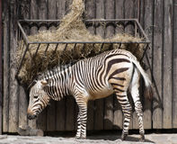 Mountain zebra feeding Stock Photography