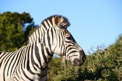 Mountain Zebra Stock Images