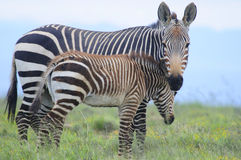Mountain Zebra grazing in green fields Royalty Free Stock Photography
